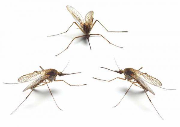 Tuổi thọ của muỗi